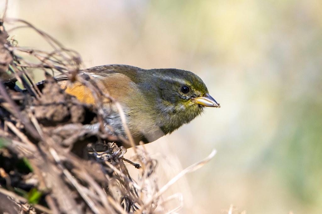 Monterita litoraleña - Red-pumped warbling-finch