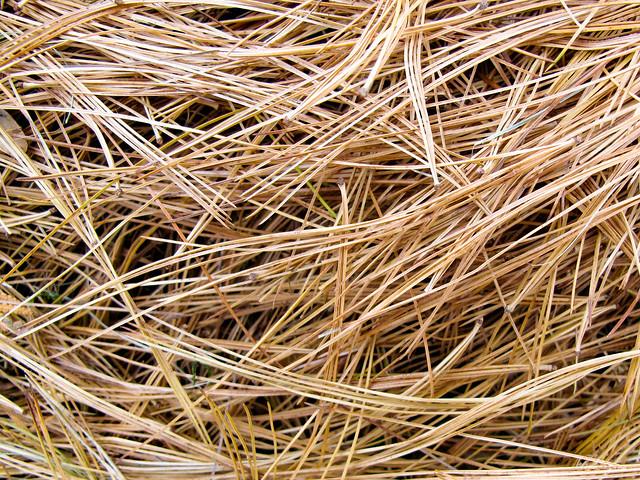 White Pine Needles - Aiguilles  de Pin blanc