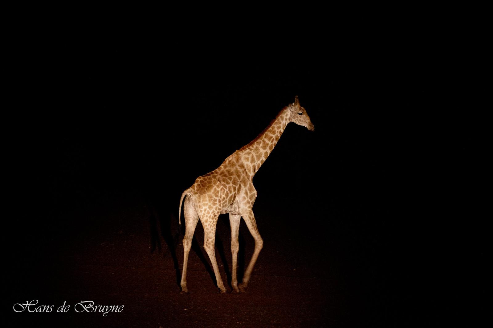 Giraffe at night