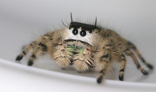 arthropoda arachnida araneae salticidae phidippus phidippusotiosus northcarolina piedmont canonmpe65mmf2815xmacrophoto arachtober inaturalist