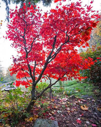 japanesemaple tree red fog oregon rainieroregon fall fallcolor