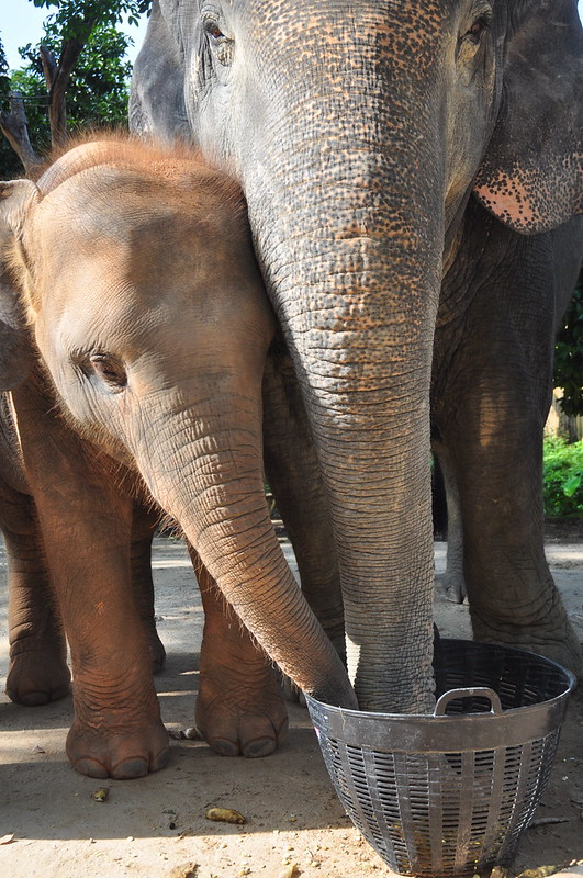 Mama and baby, Green Elephant Sanctuary