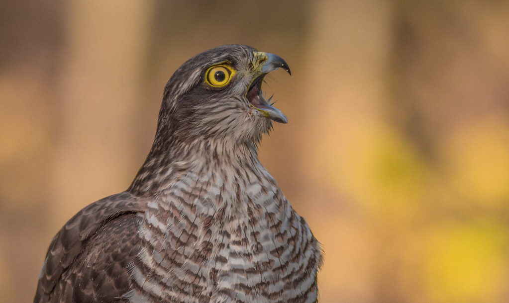 Karvaly (Accipiter nisus)