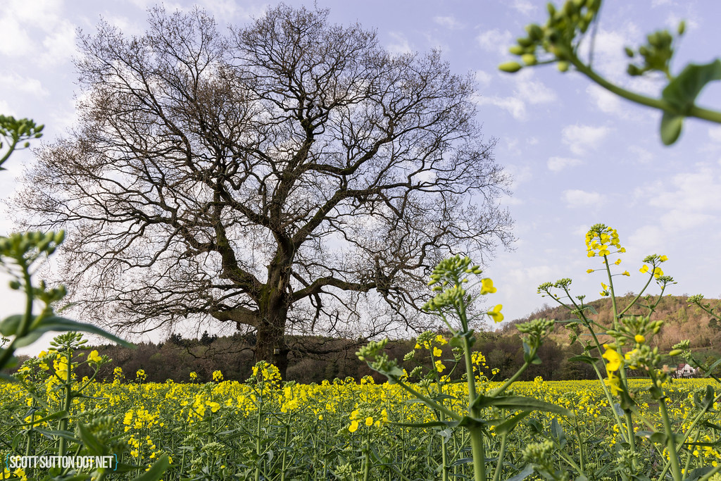 Rapeseed Fields alonside the River Rhymney