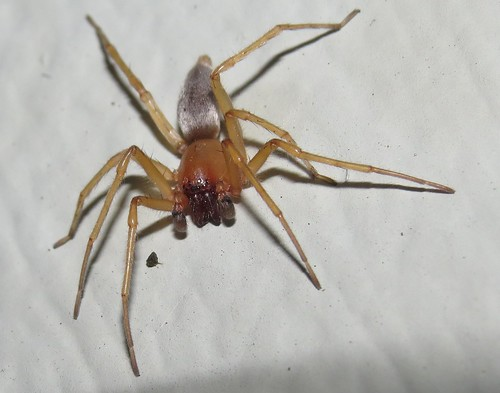 Sac spider male
