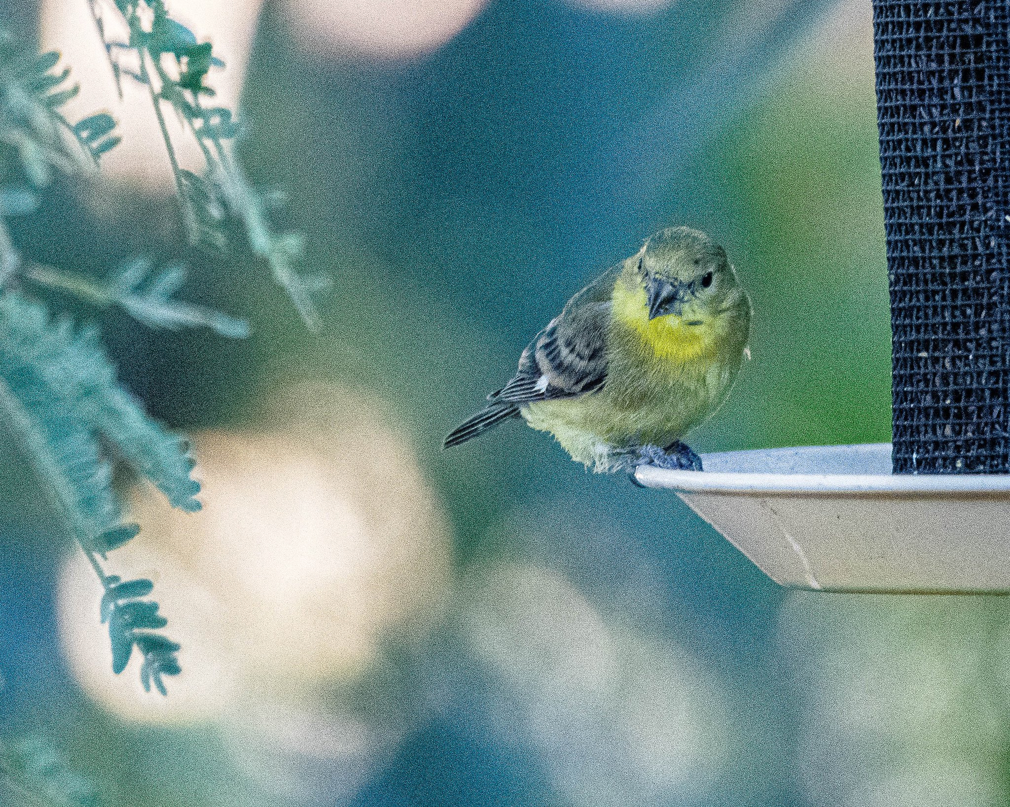 Lesser goldfinch at feeder