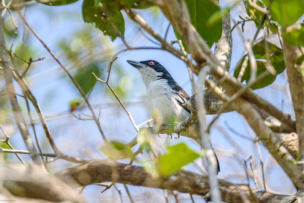 Great Antshrike (Taraba major), male