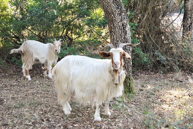 Goats in the Giara di Gesturi, Sardinia - Cabras en la Giara di Gesturi, Cerdeña