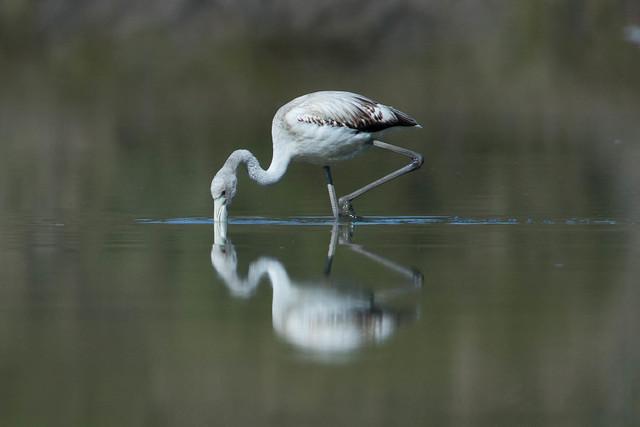 Young flamingo