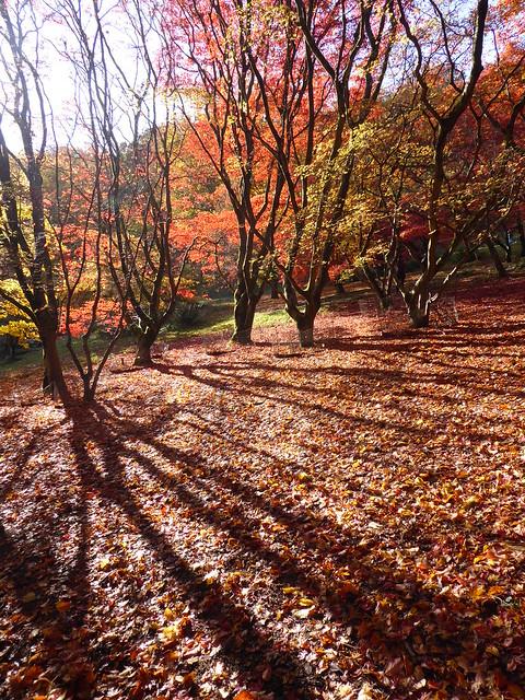 Japanese Maples, Winkworth Arboretum, Surrey