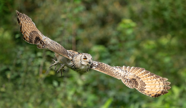 Eagle Owl  'Bubo bengalensis' in Flight
