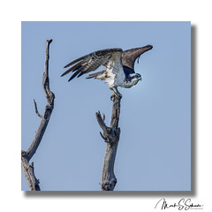 Osprey at Lincoln Shields Recreation Area in West Alton Missouri - No 2