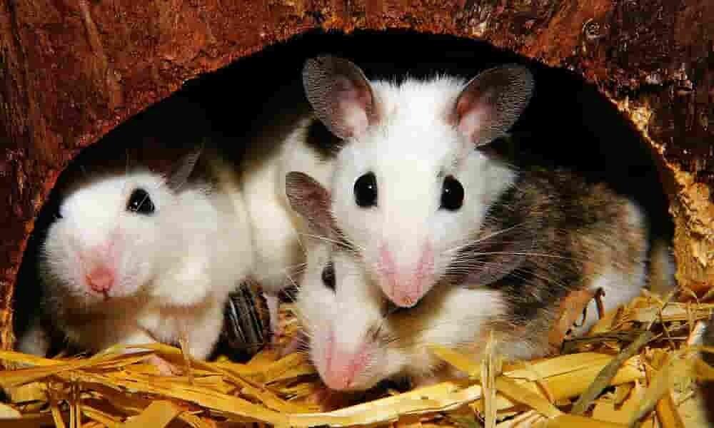 souris-microbiome-surmonter-leurs-peurs