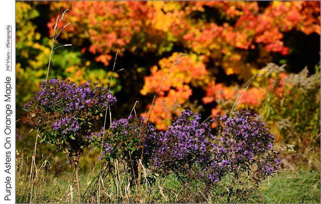 Purple Asters On Orange Maple