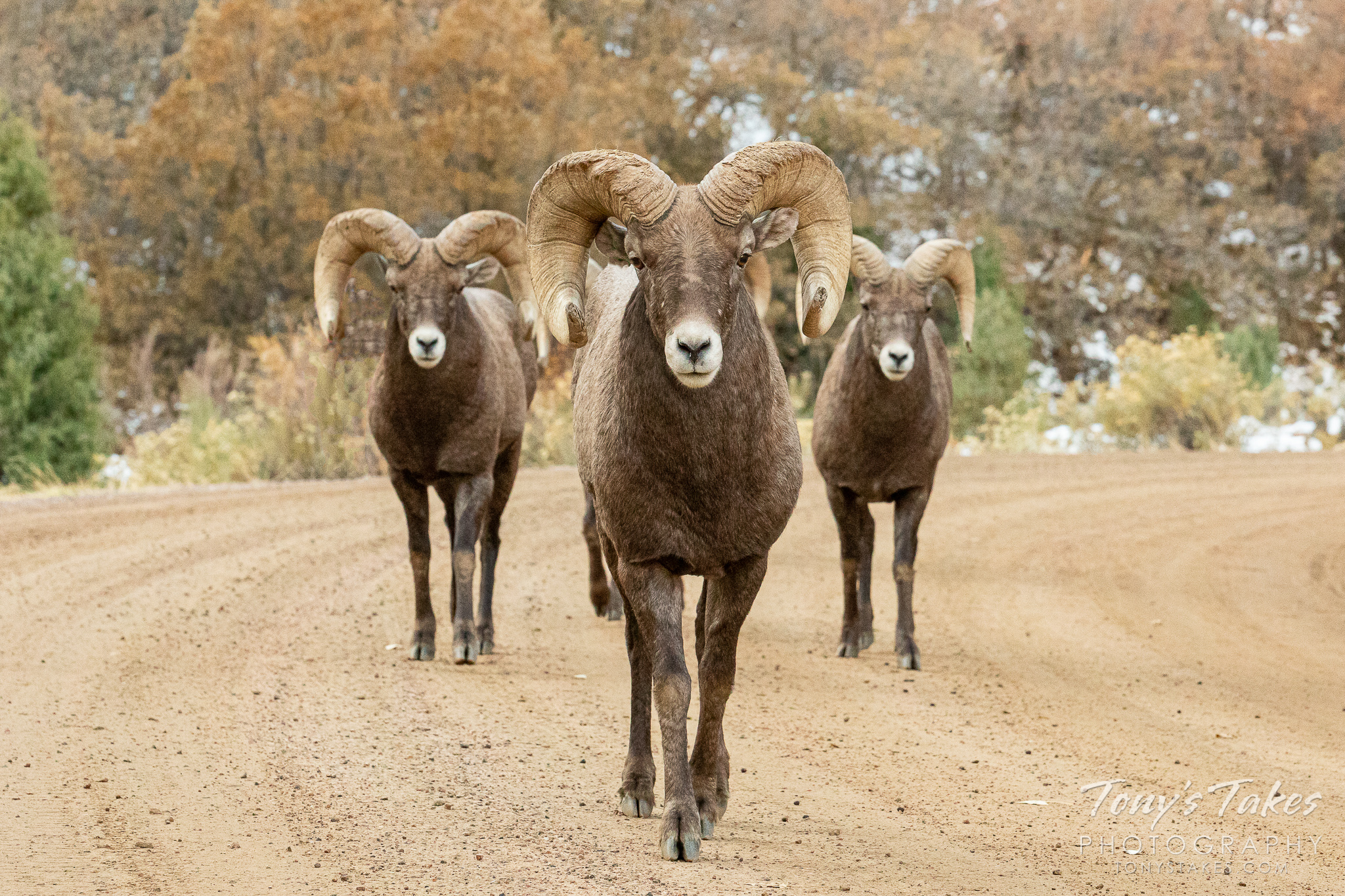 A bachelor herd of bighorn sheep walks down a dirt road in Colorado. (© Tony's Takes)
