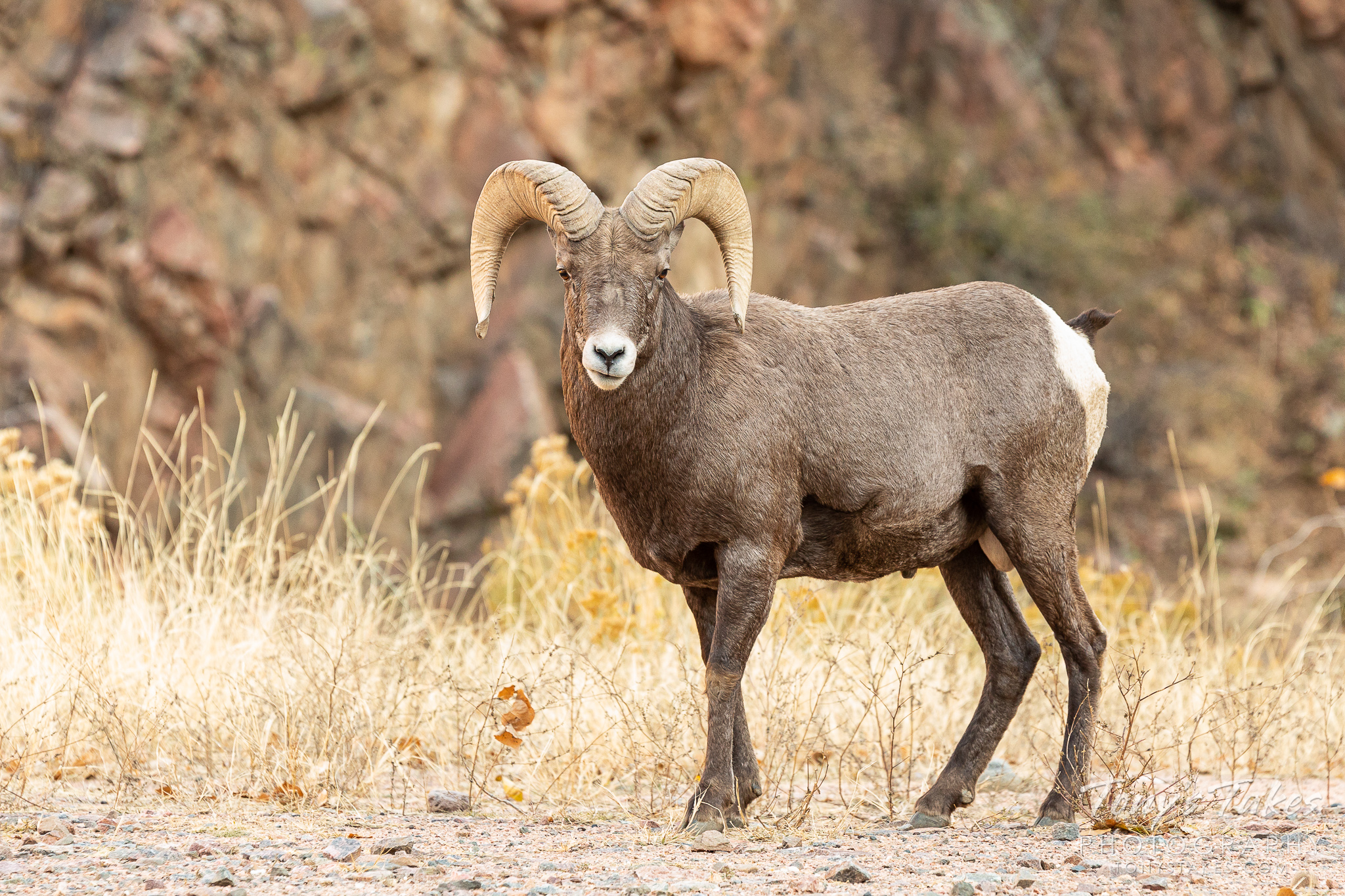 A bighorn sheep ram strikes a pose in Waterton Canyon. (© Tony's Takes)