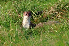 Stoat with its prey