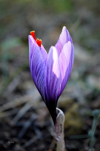 Ne pas crocus - Don't crocus