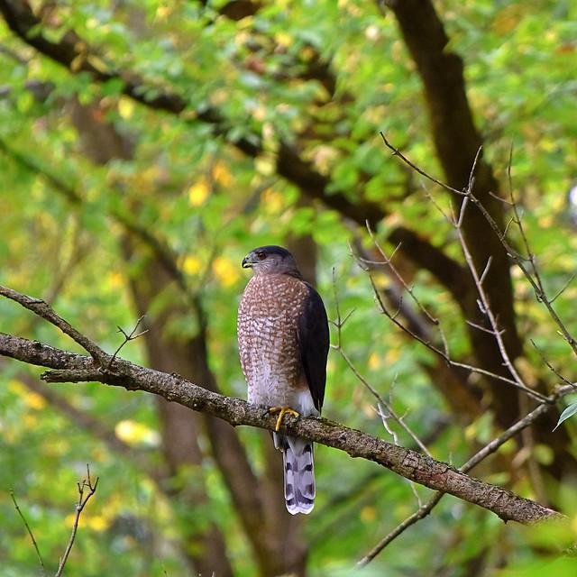 Cooper's hawk, Inniswood Metro Gardens 9/29/19