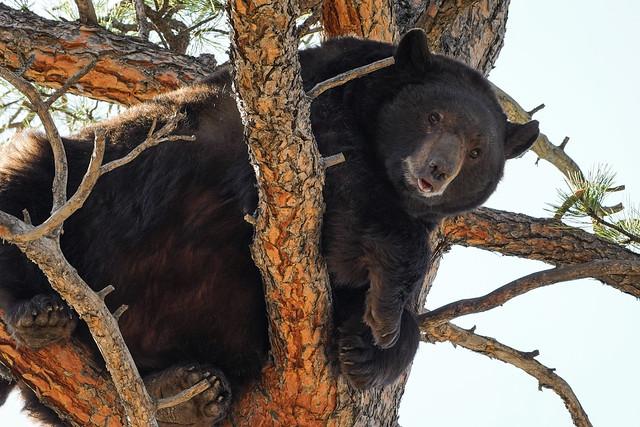 Black Bear[Explored]
