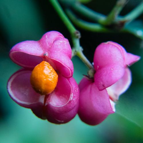 Pink and orange: spindle tree fruit