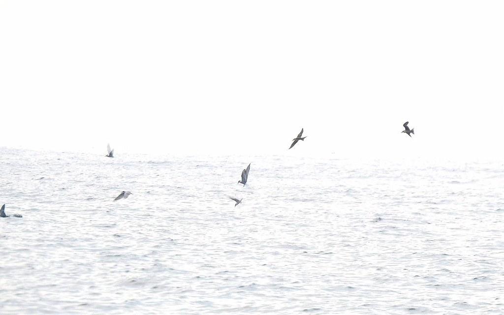 如何判斷大規模鳥群的經過,並以風機降載減少傷亡?這對離岸風電仍是難題。圖片提供:中華鳥會