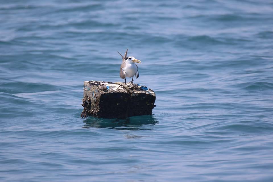 鳥在海上怎麼飛?離岸風電要減少對鳥的影響仍待更多調查資料與民間參與。圖片提供:中華鳥會