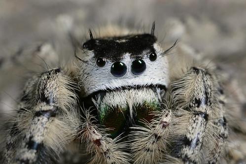 arthropoda arachnida araneae salticidae phidippus phidippusotiosus northcarolina piedmont arachtober inaturalist canonmpe65mmf2815xmacrophoto
