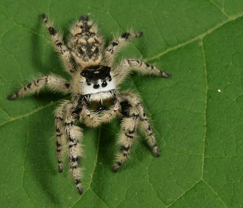 arthropoda arachnida araneae salticidae phidippus phidippusotiosus northcarolina piedmont canonefs60mmf28macrousm arachtober inaturalist