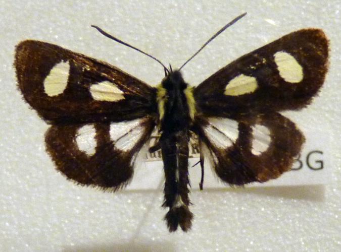 Alypia octomaculata 48973013757_e17c7c6009_o