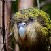 Strigops habroptila - Photo (c) Jake Osborne, alguns direitos reservados (CC BY-NC-SA)