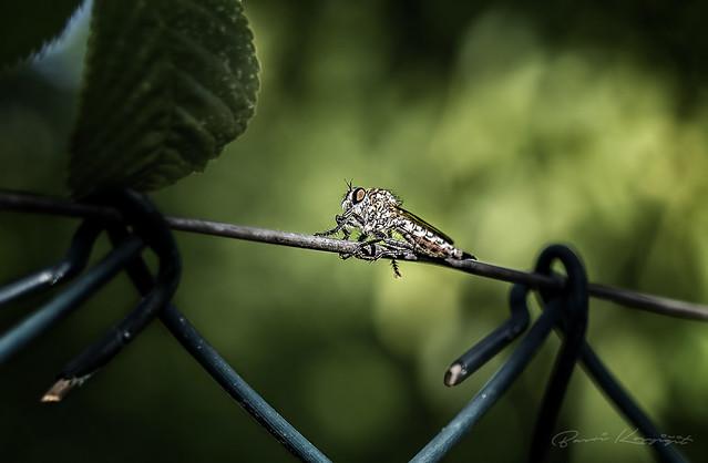Sinek (Fly)