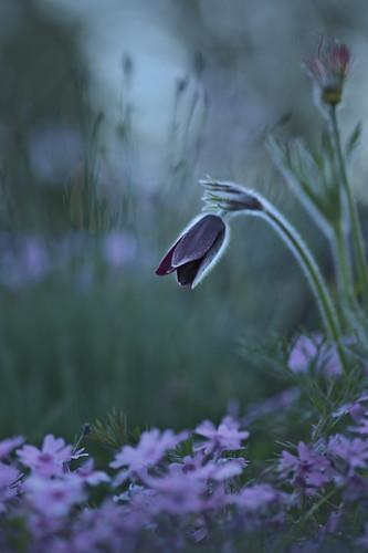 vulgaris plant alpinegarden lowkey purplepasqueflower colour newzealand christchurchbotanicgardens dark focus dof artsy pulsatilla canterbury purple macro darktable color grey green dim macrophotography d850 tokinaaf100mmf28macro nature pasqueflower flower christchurch subdued gimp