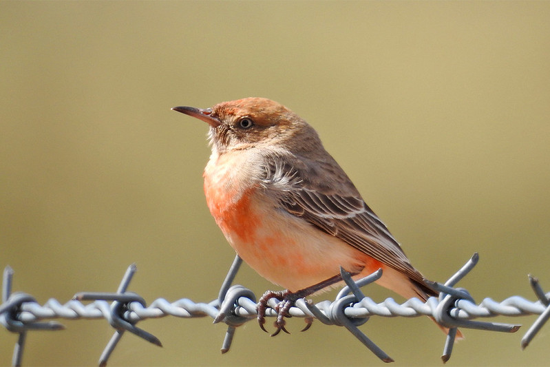 Crimson Chat - Female