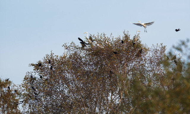 Great white egrets x6 at Westhay Moor