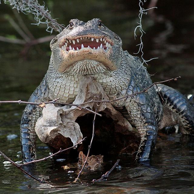 Rolf_Nagel-Fl-5401-Alligator mississippiensis