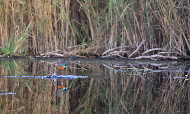 Kingfisher with catch (Westhay Moor NNR)