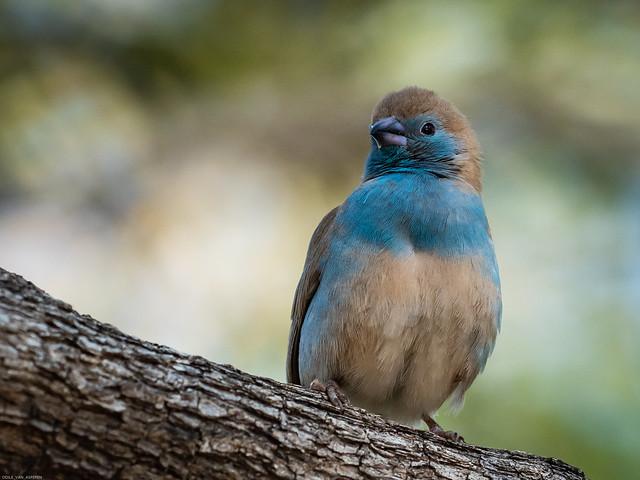 Blue Waxbill/Uraeginthus angolensis,
