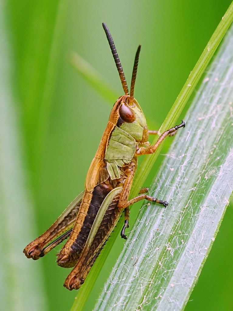 Meadow Grasshopper - Gemeiner Grashüpfer