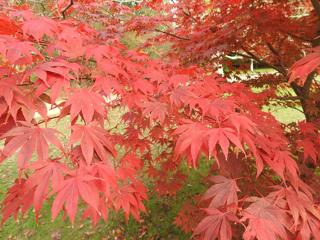 Japanese Acer at Sheffield Park Gardens
