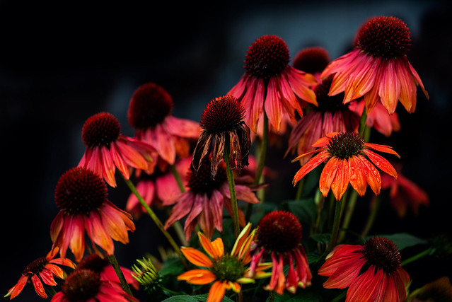 Group photograph with Echinacea  .