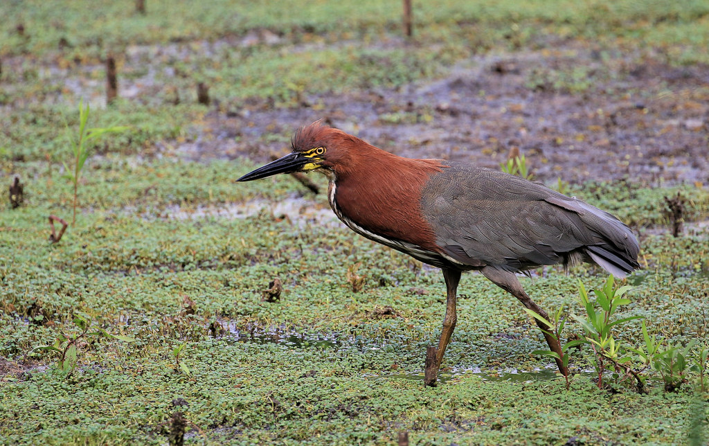 Imagen de una de las aves del Quindio: Tigrisoma lineatum (Avetigre Colorada)