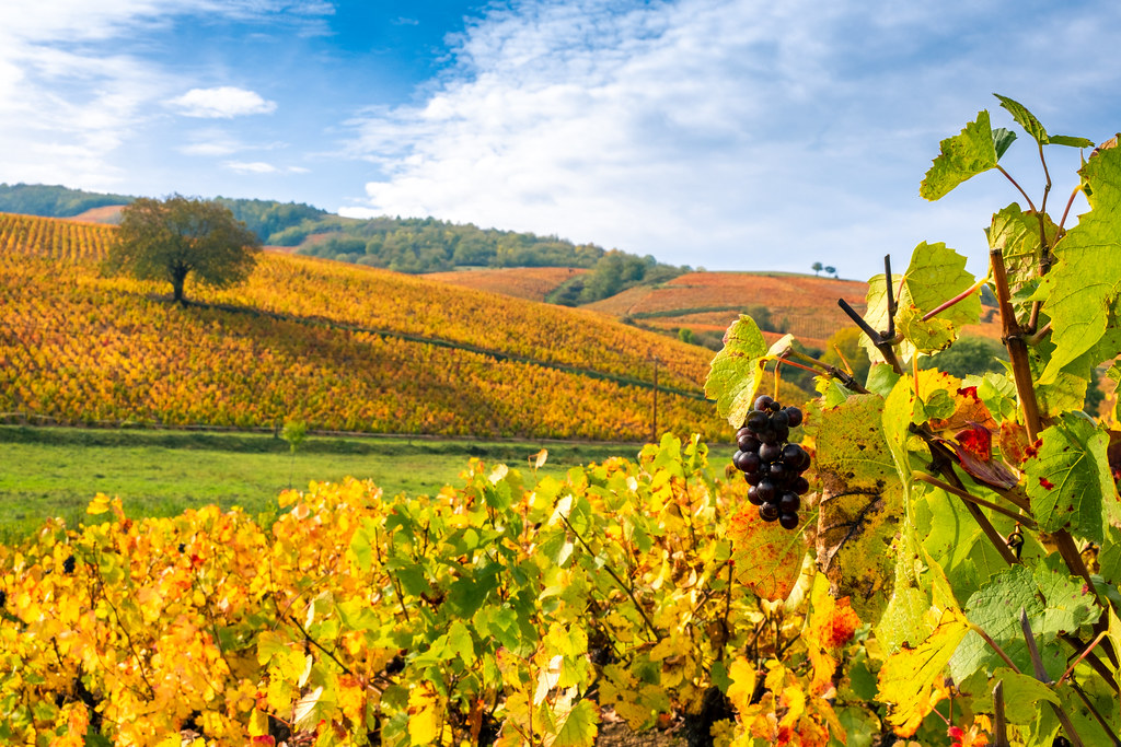 Autumn colors in Beaujolais