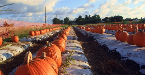 florida southflorida unitedstates nature beauty field pumpkins pumpkinfarm orange halloween floridaorange pumpkinpatch farm autumnorange closeup rows wrap sunshine glow shadows sunset