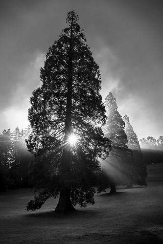 sequoia giant tree boom morning ochtend sunrise zonsopgang zonsopkomst gigantis three drie bw blackwhite monochrome monochroom zwartwit den spar garden tuin slovenië slovenia sunburst star ster rays sunray straal zonnestraal rimsketerme rimsketoplice
