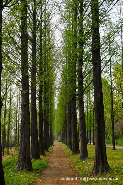 Metasequoia trail at Haneul Park