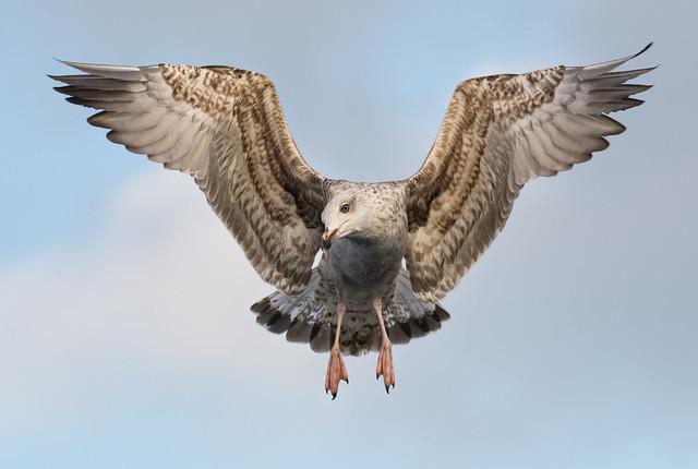 Gavota de asa escura | Larus fuscus | Lesser Black-backed Gull