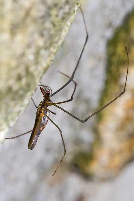 Long Jaw Spider
