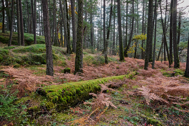 A beautiful autumnal woodland scene decorated with a carpet of rusty bracken ferns in Francis/King Regional Park, a 107-hectare park, nestled in rural Saanich. The woodland park is home to massive old growth forest including magnificent 500-year-old Dougl