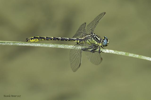 Gomphus graslinii. Adult male